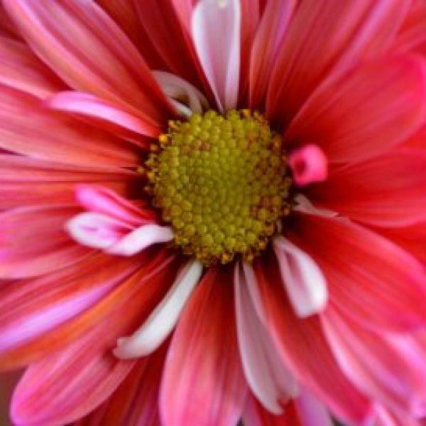 nature-flower-petal-pink-plant-close-up-daisy-colorful-macro-petals-flora-pistil-beautiful-pollen_t20_VRGN8P
